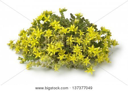 Yellow flowering Sedum acre on white background
