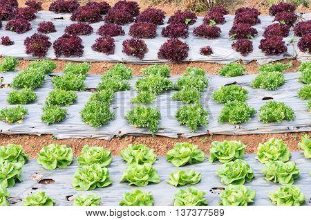 Fresh lettuce plot in the organic farm of Thailand.