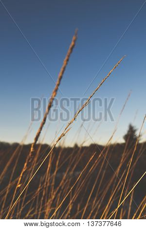 Taken on a crisp, fall evening, this photo captures the soft essence of a single stalk of wheat in a field.