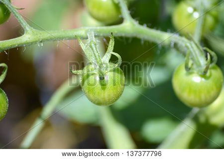 Green tomatoes starting to grow on the vine