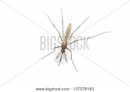 Close Up Mosquito Isolated On White Background