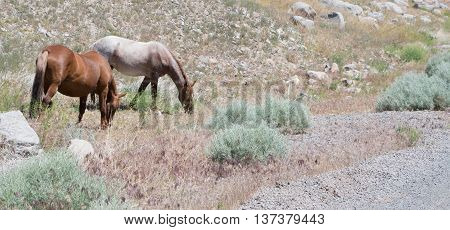 Two open range wild horses one brown and one while with brown in color