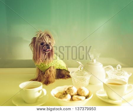 Yorkshire Terrier sitting on the kitchen table. Cute pets. Dog.