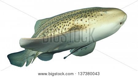 Leopard Shark isolated white background