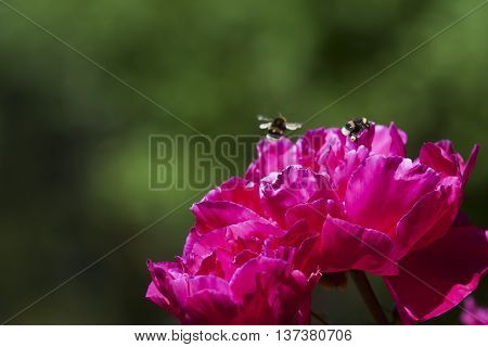 bumble bees flying over a peaony flower