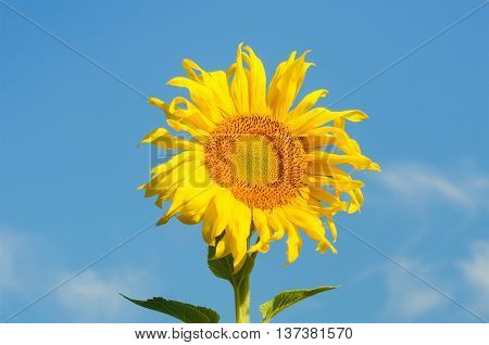 Sunflowers blooming against a bright sky in sunny day