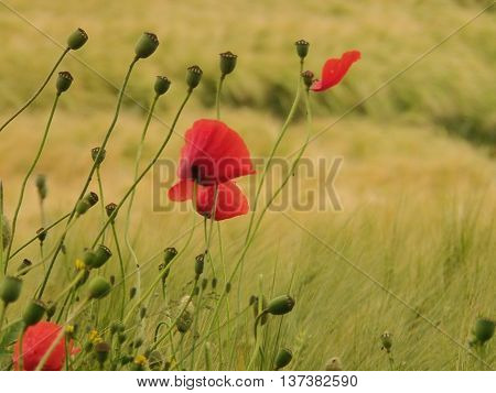 Fading poppy flowers (Papaver rhoeas) by the side of a barley field