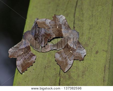 Poplar hawk-moth (Laothoe populi) pair mating on wooden pole