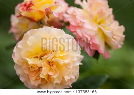 Cluster of coral and pink rose blossoms