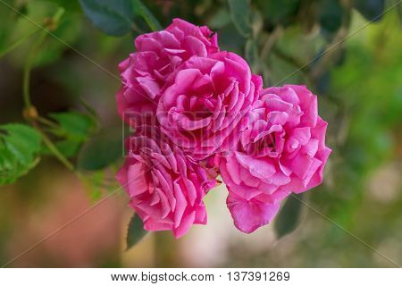 Rose buds in the garden over natural background