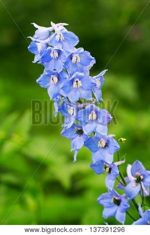 Blue delphinium growing outdoors over breen blurry background