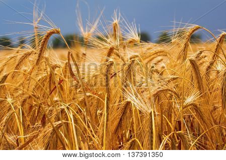Ripe spikelets of wheat in the field in the end of June