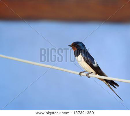 Barn swallow or European swallow (Hirundo rustica) sitting on the rope