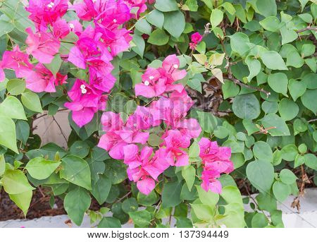 Bougainvillea flower purple selective focus, glabra Choisy beautiful natural in garden and background blurry