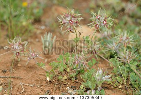 Star Clover - Trifolium stellatum Common Wild Flower in Cyprus