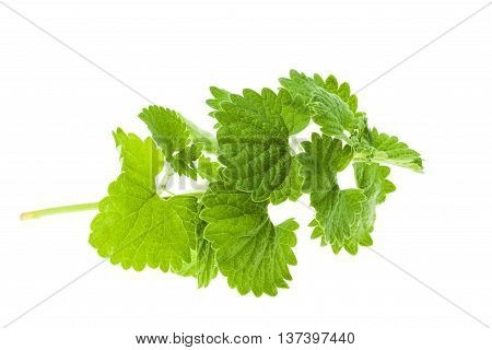 isolated on white background green sprout of lemon balm, close-up