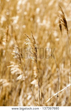 photographed close-up of dry yellow grass in autumn season. sunny day