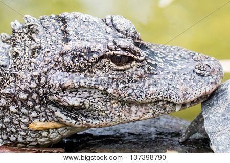 Chinese Alligator (alligator Sinensis)