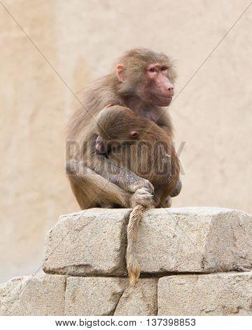 Hamadryas Baboons (papio Hamadryas)