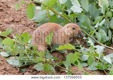 Black-tailed Prairie Dog Holding A Twig With Leaves
