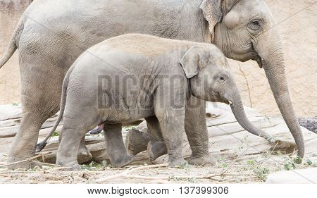 Young Asian Elephant (elephas Maximus)