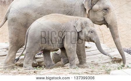 Young Asian Elephant (elephas Maximus)