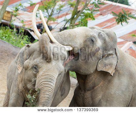 Two Adult Asian Elephants Cuddling