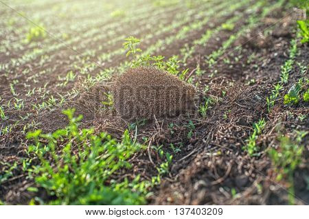 hedgehog at the green field