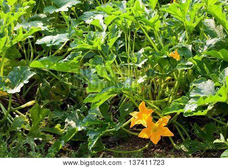 Blooming Squash