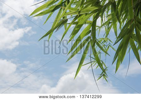 Bamboo tree leaves clouds and the blue sky Background