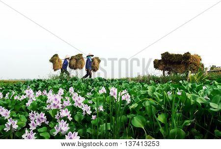 Vinh Phuc, Vietnam, August 16, 2015 farmers in Vinh Phuc Province, Vietnam. Rice harvests