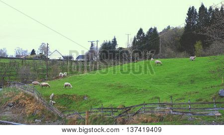 Sheep on the hill grass white field hill scenic