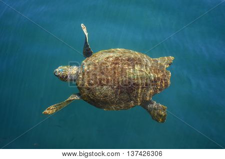 Loggerhead sea turtle in Cephalonia (Kefalonia), Greece