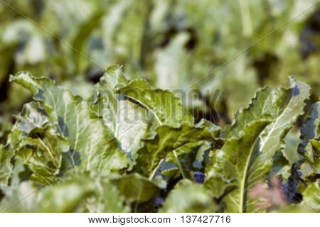 green leaves beetroot growing in an agricultural field, close-up, defocused