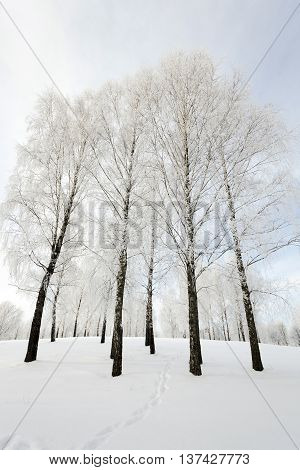 trees photographed during the winter. the ground is covered with snow.