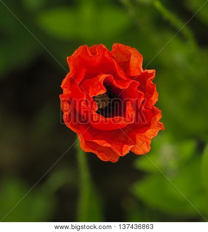 Red crinkled poppy in natural, green setting