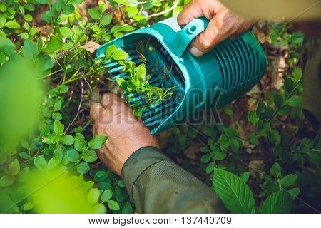 The elderly man gathers blueberries with a special device