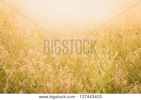 Sunlit field with spikelet horizontal, background travel