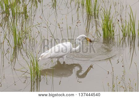 Great Egret catching crawfish in the Trinity River near Dallas. Texas United States