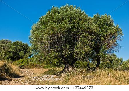 Olive tree on a sunny morning at mediterranean coast in Sithonia, Greece