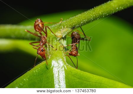 Red ant two on a leaves green background