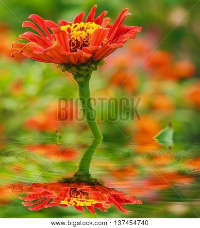 Zinnia orange blooming with reflected in water