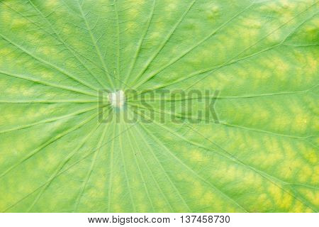 Close-up detail of the center of a lilypad where all the spines and veins converge. Nature backgrounds and concepts.