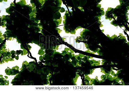 Translucent Leaves Of The Tree
