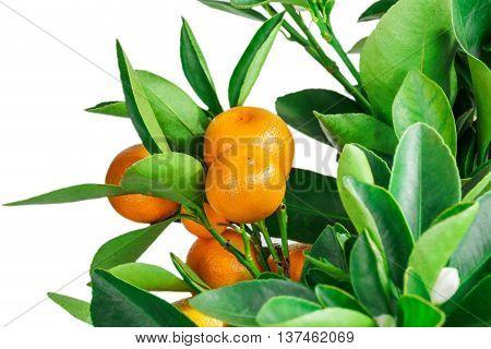 mandarine tree fruit isolated on white background