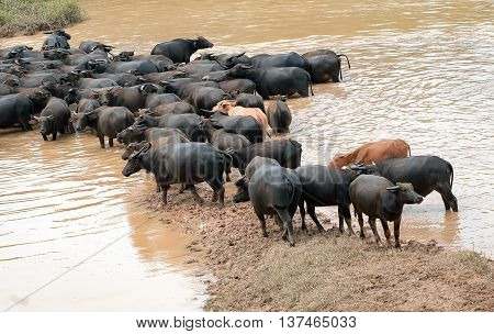 DONG THAP, Vietnam, September 25, 2015 buffaloes, crossing the river, countryside Dong Thap, Vietnam, in the flooding season