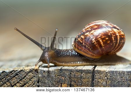 Burgundy snail aka Helix pomatia crawling on an old wooden surface