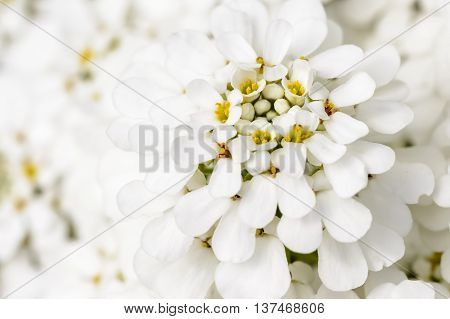Close up from a white blossom in nature