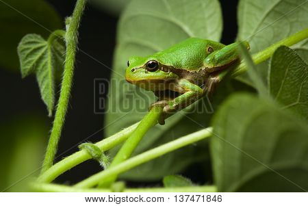 European Tree Frog Sitting On Leaf