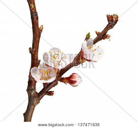 Blooming Fruit-tree Twig